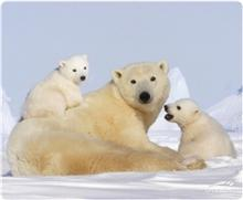 Silk Mousepad Polar Bear (SL-6242-P08)